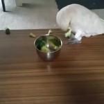 【キレるオウム動画】絶対ブロッコリーなど食べてやらない!ブロッコリーに強い憎しみを抱くオウムとおばあちゃんとの攻防!